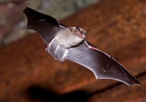 Big brown bat ©Blaine Rothauser