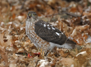 The cooper hawk ...©Blaine Rothauser