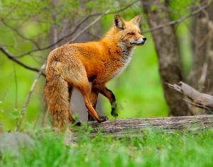 The red fox ...©Blaine Rothauser