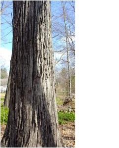 A shagbark hickory