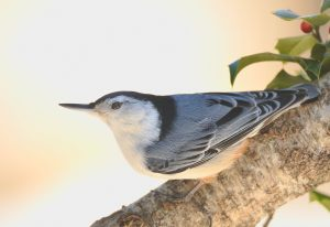 The white breasted nuthatch ...©Blaine Rothauser