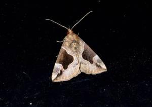 Flowing line snout moth ©Blaine Rothauser
