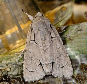 Radcliffe's dagger moth ©Blaine Rothauser