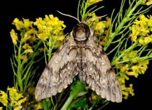 Waved sphinx moth ©Blaine Rothauser
