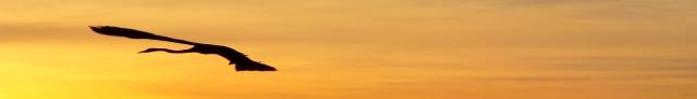 blue herron at sunrise flying acres